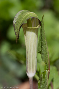 Ariseama triphyllum, jack in the pulpit