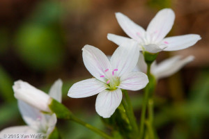 Claytonia virginica, spring beauty