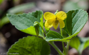 Viola pubescens, downy yellow violet