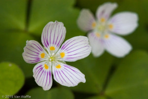 Common wood-sorrel