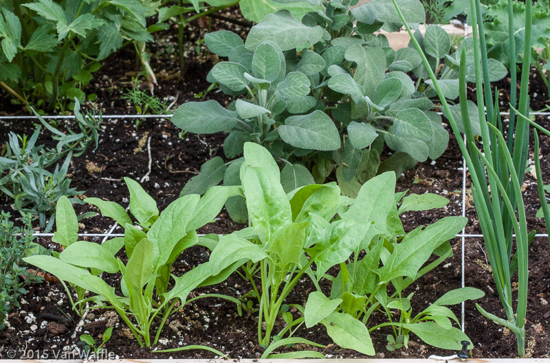 Spinach in the square foot garden