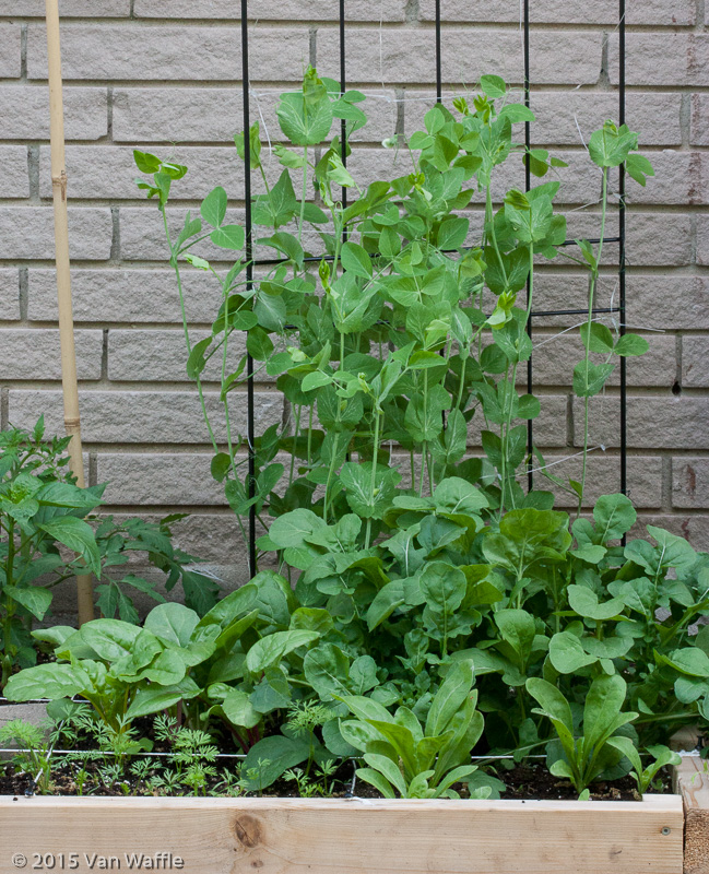 Arugula in the corner